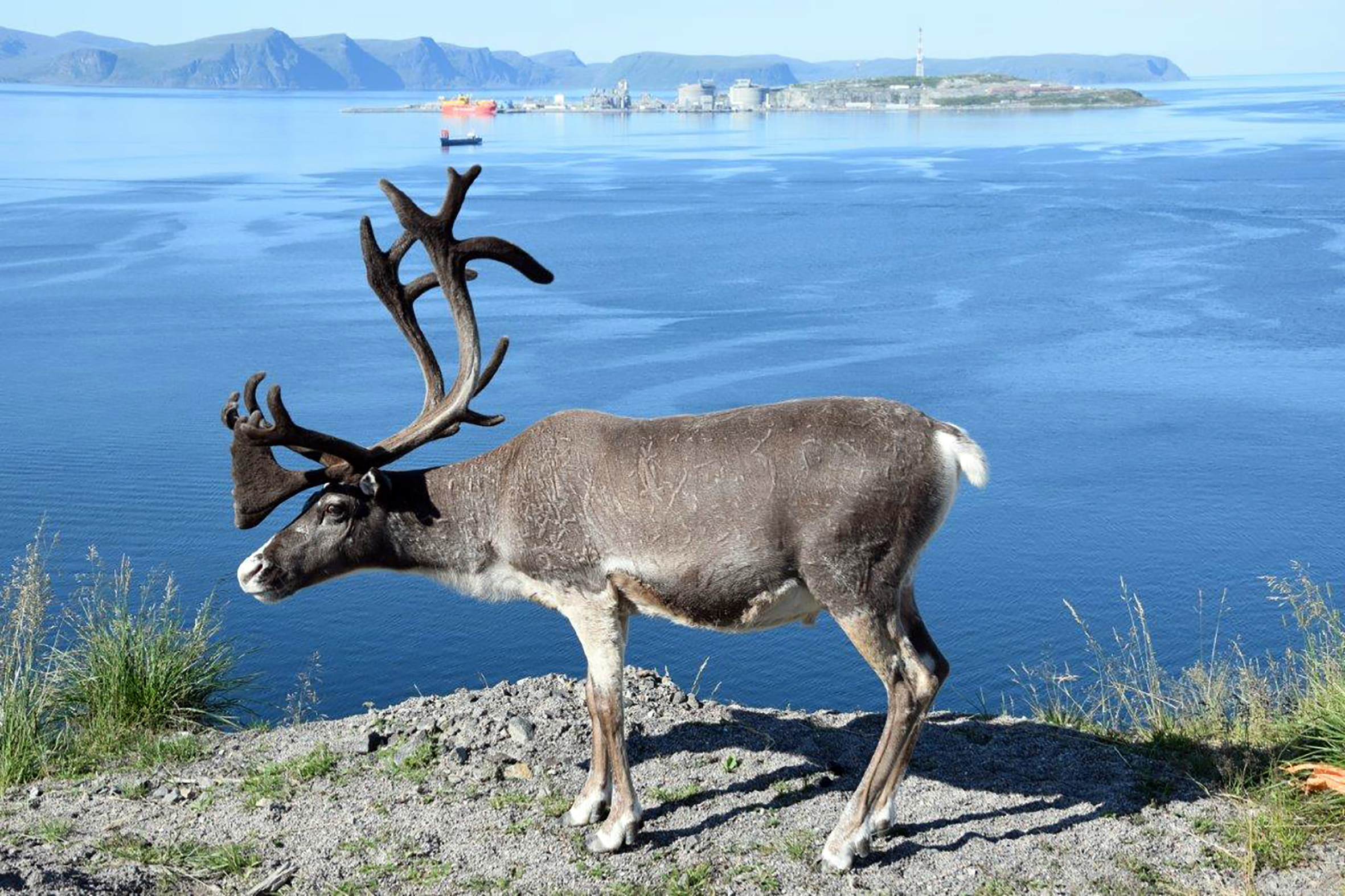 Gammel og ny næring i Finnmark. En tamreinsbukk på sommerbeite i Hammerfest. Bak er Equinors anlegg for prosessering av naturgass fra Snøhvitfeltet i Barentshavet. (Foto: Willy Gryting)